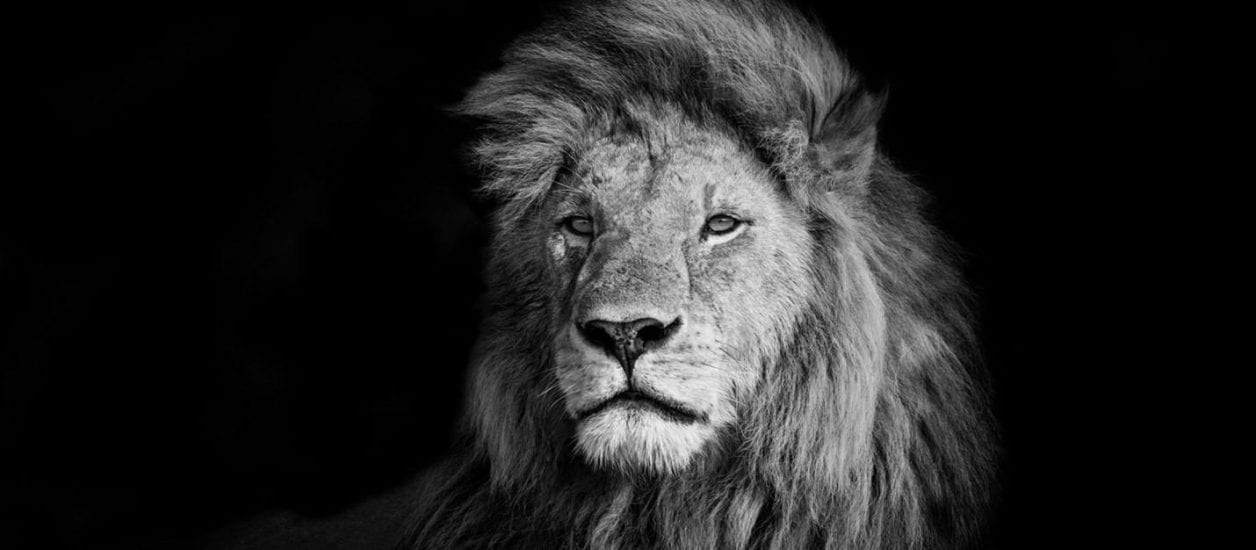 : Lion in black and white